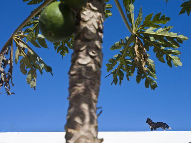 Papaya - eine leckere Frucht auf El Hierro