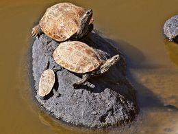 Wasserschildkröten in einem Teich bei Kaloni