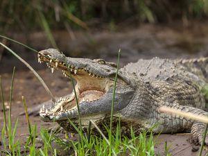 Krokodil am Chamo-See bei Arbaminch