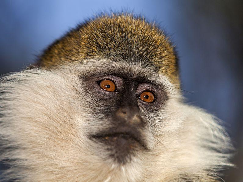 Meerkatze in Äthiopien (c) Tobias Schorr