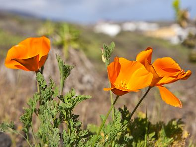 Mohn-Blüten