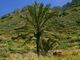 Die Palme in der Plaka-Bucht