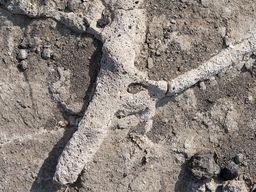 Fossile Wurzeln im ehm. Steinbruch von Akrotiri. (c) Tobias Schorr