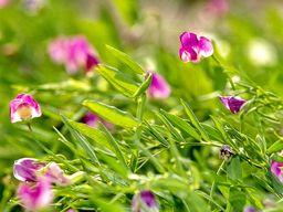 Blüten der Fava-Erbse. (c) Tobias Schorr