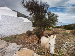 Esel und Maultiere sind immer noch ein nützliches Lasttier auf Amorgos.