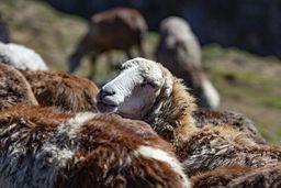 Äthiopische Schafe. (c) Tobias Schorr