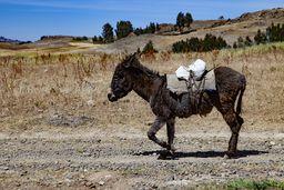 Esel sind weiterhin eines der wichtigsten Transportmittel. (c) Tobias Schorr