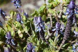 Äthiopischer Lavendel. (c) Tobias Schorr