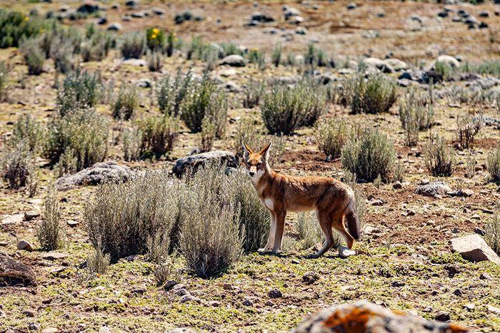 Der äthiopische Wolf posierte direkt vor meiner Kamera. Ich habe selten so leicht ein solches Tier vor die Kamera bekommen! (c) Tobias Schorr