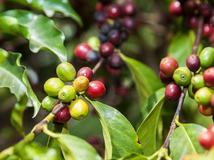 Die roten Beeren enthalten die Kaffee-Bohne. (c) Tobias Schorr