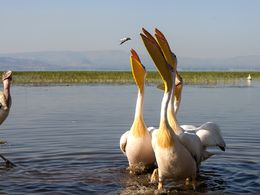 Pelikane am Awassa-See
