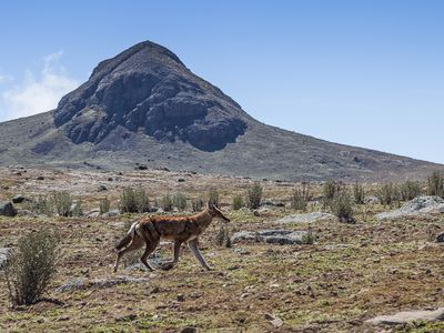 Der äthiopische Fuchs lebt im Balegebirge auf 4000 m