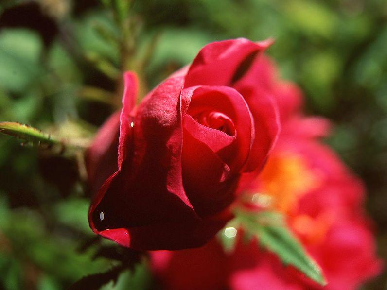 Seltene Rose von der Vulkanhalbinsel Methana (c) Tobias Schorr