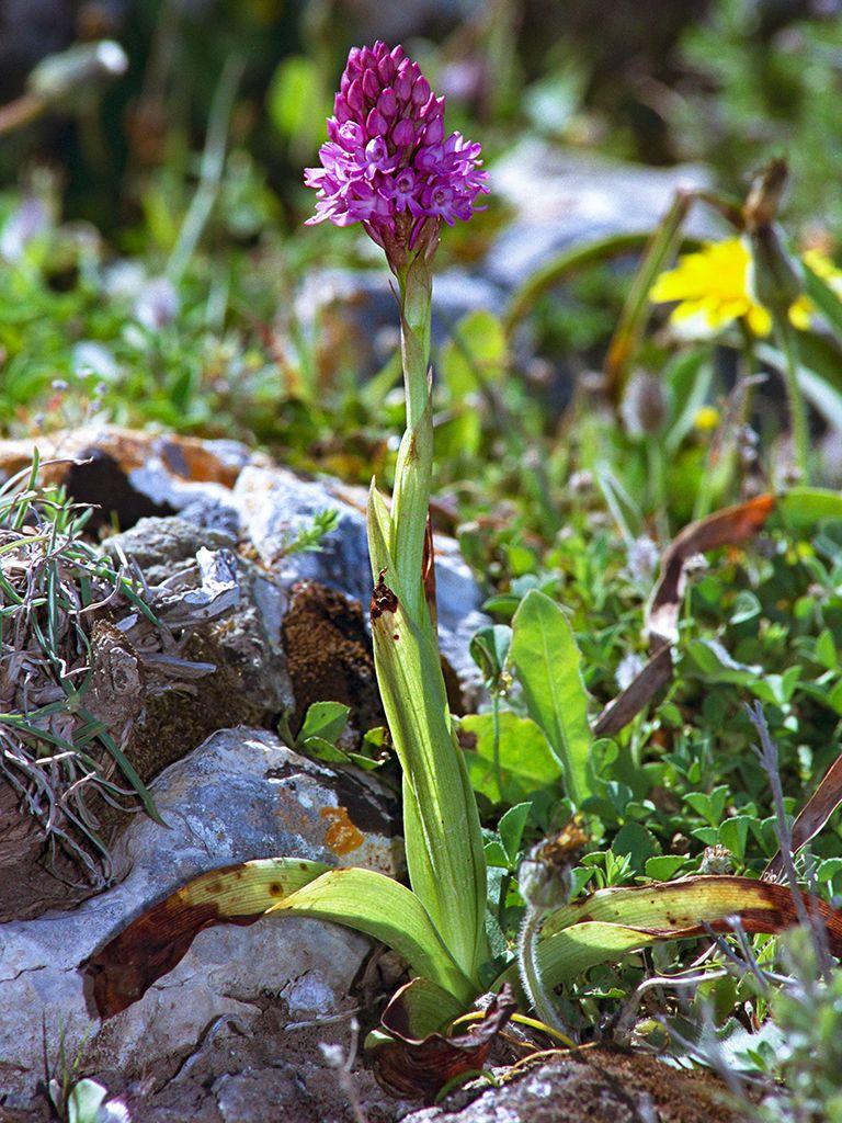 Eine Pyramiden-Orchidee aus der Nähe von Oía. (c) Tobias Schorr