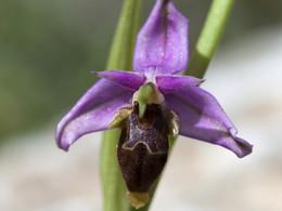 Reinholds Ragwurz (Ophrys reinholdii?) Orchidee von Alt-Thera, (C) Tobias Schorr, April 2017