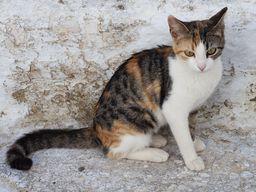 Eine der vielen Katzen auf Santorin.