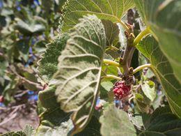 Die leckeren, roten Maulbeeren (c) Tobias Schorr