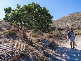 Der Maulbeerbaum bei Agia Marina westlich von Akrotiri (c) Tobias Schorr