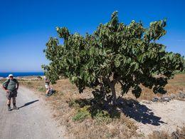 Der Maulbeerbaum bei der Kapelle Agia Anna in der Nähe von Akrotiri (c) Tobias Schorr