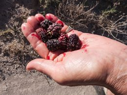 Maulbeeren - früher hat man die Blätter zur Zucht von Seidenraupen verwendet. (c) Tobias Schorr
