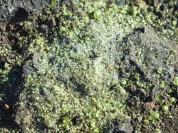 Green crystals of olivine