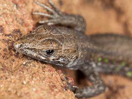 The atlantic lizard of Lanzarote