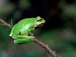 Der Laubfrosch von der Loutesa-Hochebene