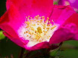 Eine wilde Rose aus Agiasos