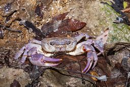 Süßwasserkrabben gibt es an allen Quellen der Peloponnes. (c) Tobias Schorr