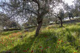Typischer Olivenhain. (c) Tobias Schorr