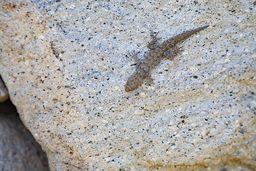 Gecko. (c) Tobias Schorr