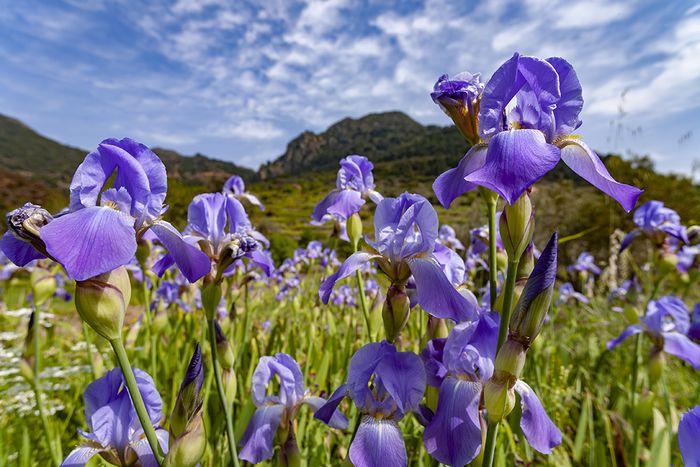 Irisblüten im Tal von Kameni Chora auf der Halbinsel Methana. (c) Tobias Schorr