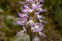 Eine seltene Orchidee vom Wegrand. (c) Tobias Schorr
