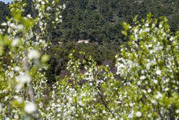 Die wilden Apfelbäume im Stavrolongos-Tal bei ihrer Blüte. Im Hintergrund sieht man die Kapelle Agios Athanasios. (c) Tobias Schorr