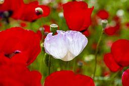 Eine weisse Klatschmohnblüte. (c) Tobias Schorr