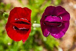 Violette Klatschmohnblüte. (c) Tobias Schorr