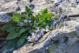 Eine endemische Glockenblumenart in den vulkanischen Felsen. (c) Tobias Schorr
