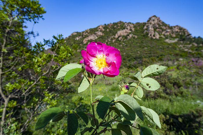 Die wilden Rosen im Kratertal Stavrolongos sind immer etwas Besonderes! (c) Tobias Schorr