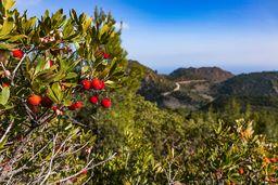 Die Früchte des Erdbeerbaums vor der Kulisse der Lavadome von Methana. (c) Tobias Schorr