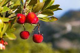 Die Früchte des Erdbeerbaums (arbutus unedo). (c) Tobias Schorr