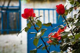 Rosen gedeihen im Klima von Methana prächtig. (c) Tobias Schorr