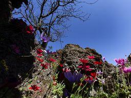 Anemonen blühen im Lavagestein