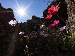 Blühende Anemonen im historischen Vulkan von Methana