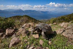 Eine griechische Breitrandschildkröte. (c) Tobias Schorr