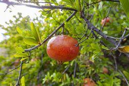 Um die antike Akropolis Paliokastro gibt es heute Gärten, in denen auch Granatäpfel wachsen. (c) Tobias Schorr