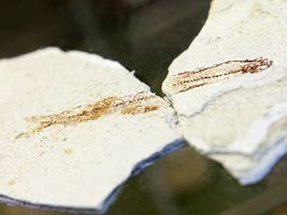 Fossiler Fisch aus den Tuffablagerungen auf Milos (c) Tobias Schorr