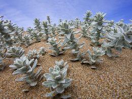 Wasserspeichernde Pflanzen auf den Dünen an der Nordküste von Milos. (c) Tobias Schorr