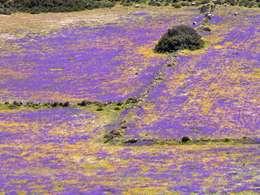 Violete flower meadow in the Tsingrado crater