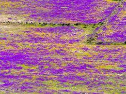 Violett blühende Wiese im Tsingrado-Krater. (c) Tobias Schorr