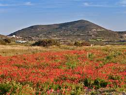 Poppy covered meadow in front of an old volcano on Milos